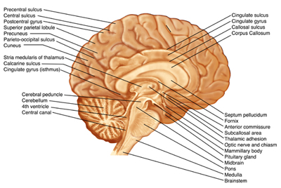 Brain Sagittal Section