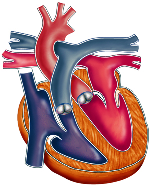 Four Chambered Adult Human Heart. Illustrated by Laura Maaske.