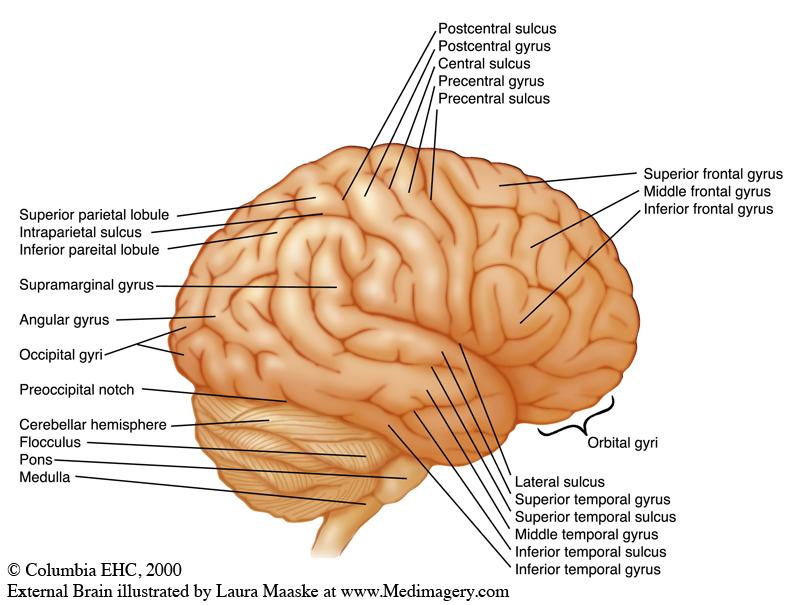 External Lateral Brain