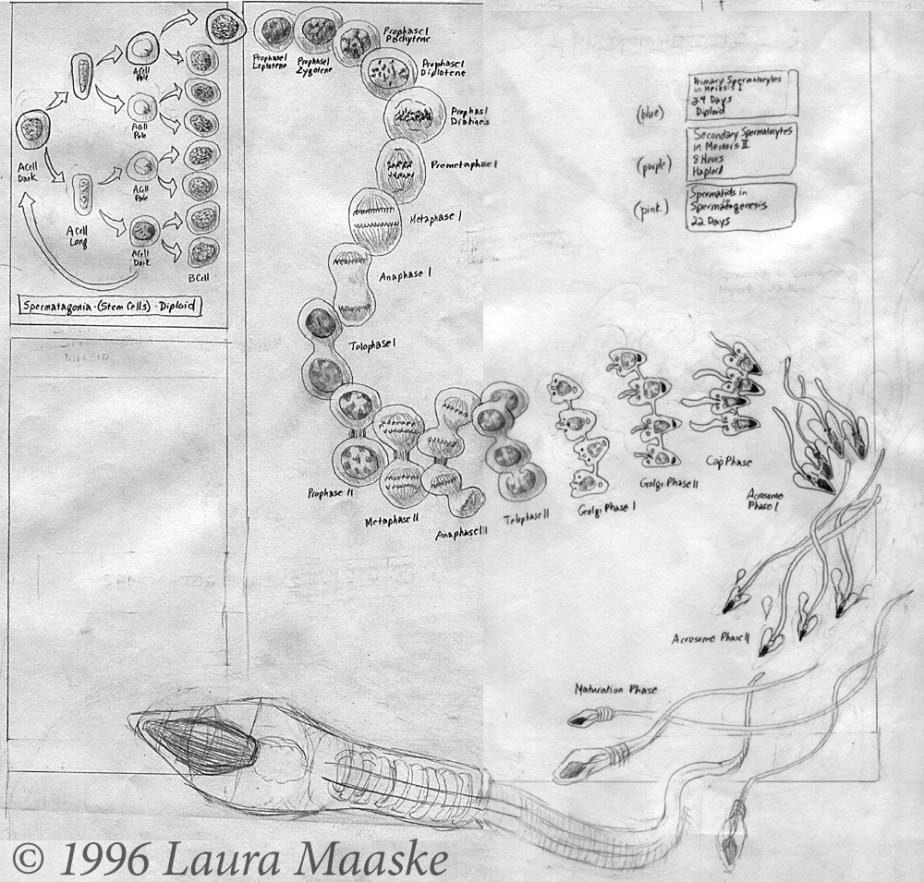 Spermatogenesis Sketch © 1999 Laura Maaske